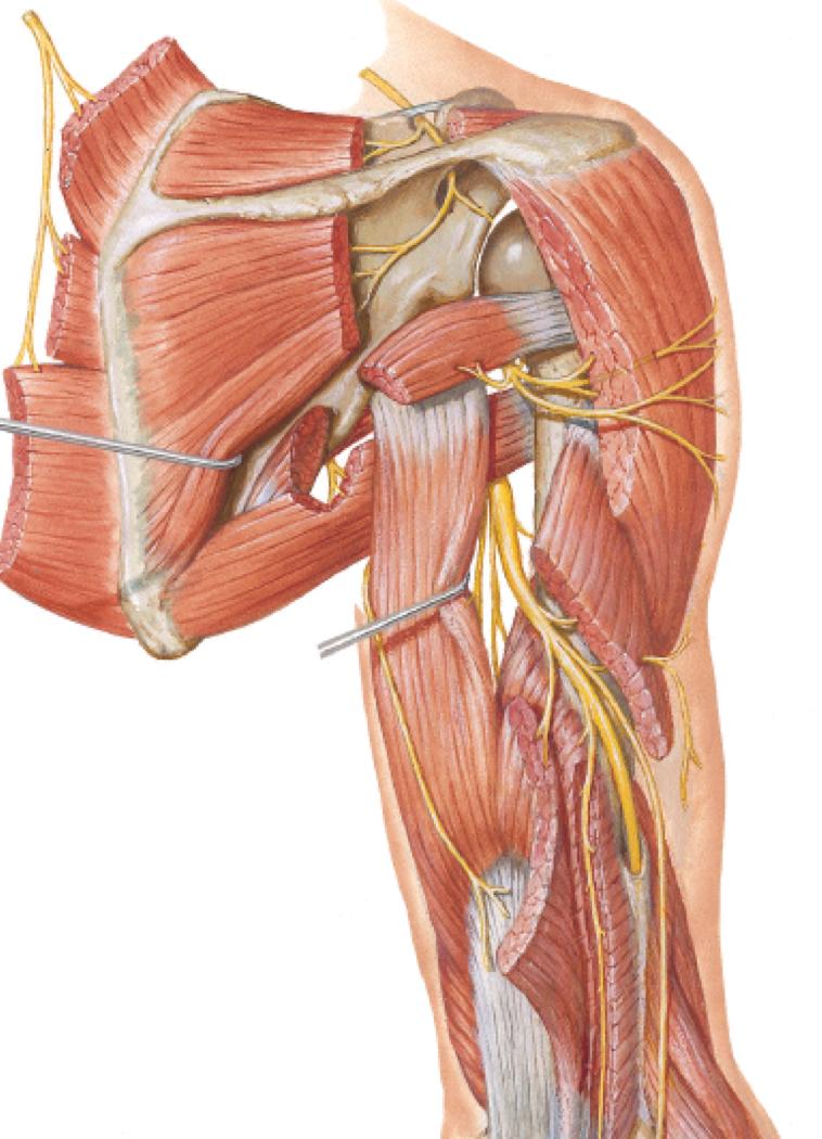 Brachial Plexus (Anatomy Test 2) Flashcards | Memorang