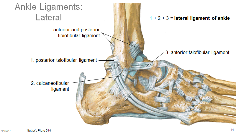 Mga Exam 3 Lec 1011 Foot And Ankle Foot And Ankle Flashcards