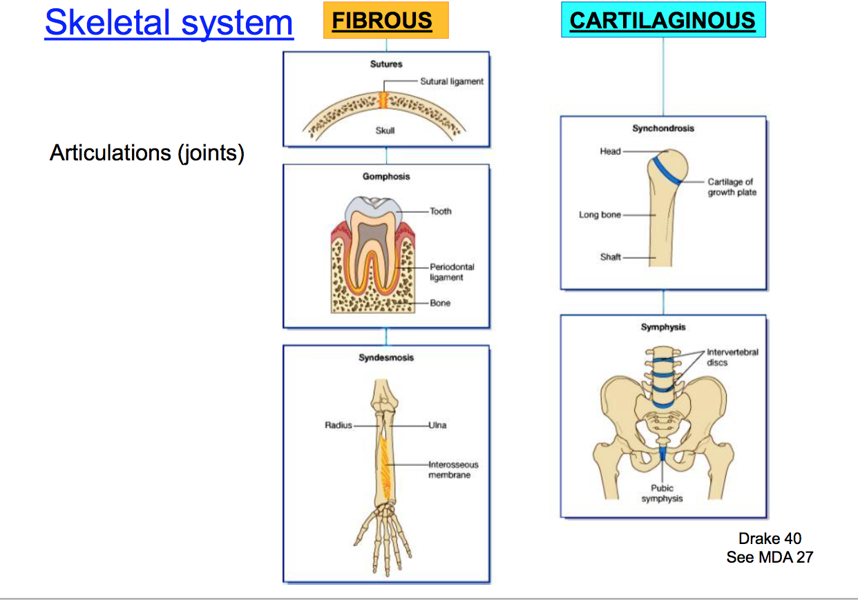 Anatomy Gs1 Concepts Terms From Anatomy Unit 1 Flashcards Memorang Gomphosis.—gomphosis is articulation by the insertion of a conical process into a socket; anatomy gs1 concepts terms from