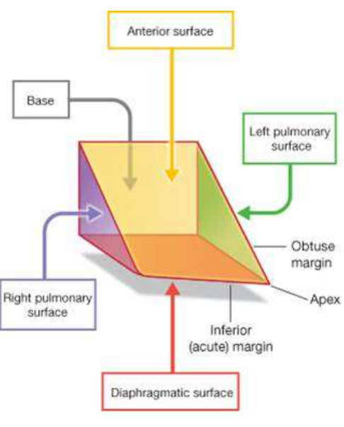 The Heart And Conduction System Flashcards Memorang